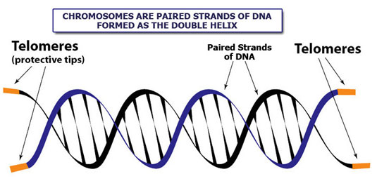 A graphic to show what a telomere is.