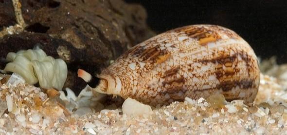sea snail venom