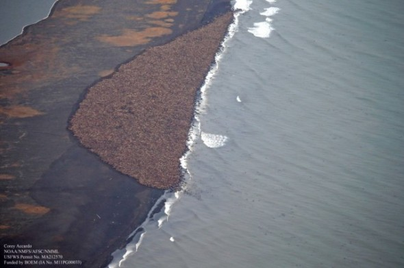 An estimated 35,000 walruses are resting on land because the sea ice has melted Photo credit goes to: Corey Accardo NOAA/NMFS/AFSC/ANML.