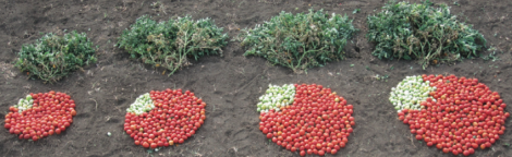 CSHL scientists have identified a set of genetic variants that can dramatically increase tomato production. On the far left is the average yield from a plant that grows standard canning tomatoes. The next three piles were produced by plants with mutations found in the toolkit. The combination of genetic mutations on the far right produces twice as many tomatoes as the standard variety. Photo credit goes to: Zachary Lippman/ Cold Spring Harbor Laboratory