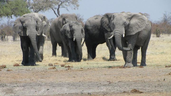 These are elephants in Botswana