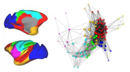 "On the left is a drawing of the monkey brain where each color represents a group of related brain regions. The graph on the right shows how these regions are connected to each other. Each region is represented as a circle, and connections between regions are represented as lines. Regions are considered ""connected"" when their activity patterns are similar. Looking across the whole brain, these regions and their connections form a cohesive network. Image credit goes to: David Amaral/UC Davis"