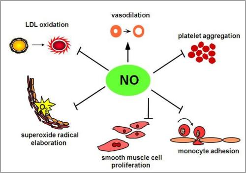 Functions of nitric oxide (NO) in the human organism. Image credit goes to: The Lomonosov Moscow State University