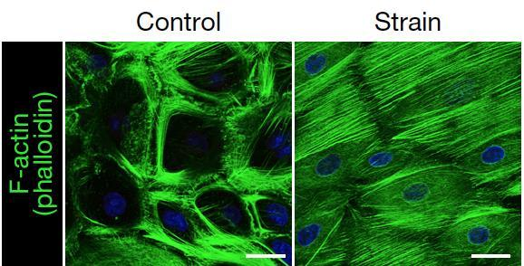 stem cell forces