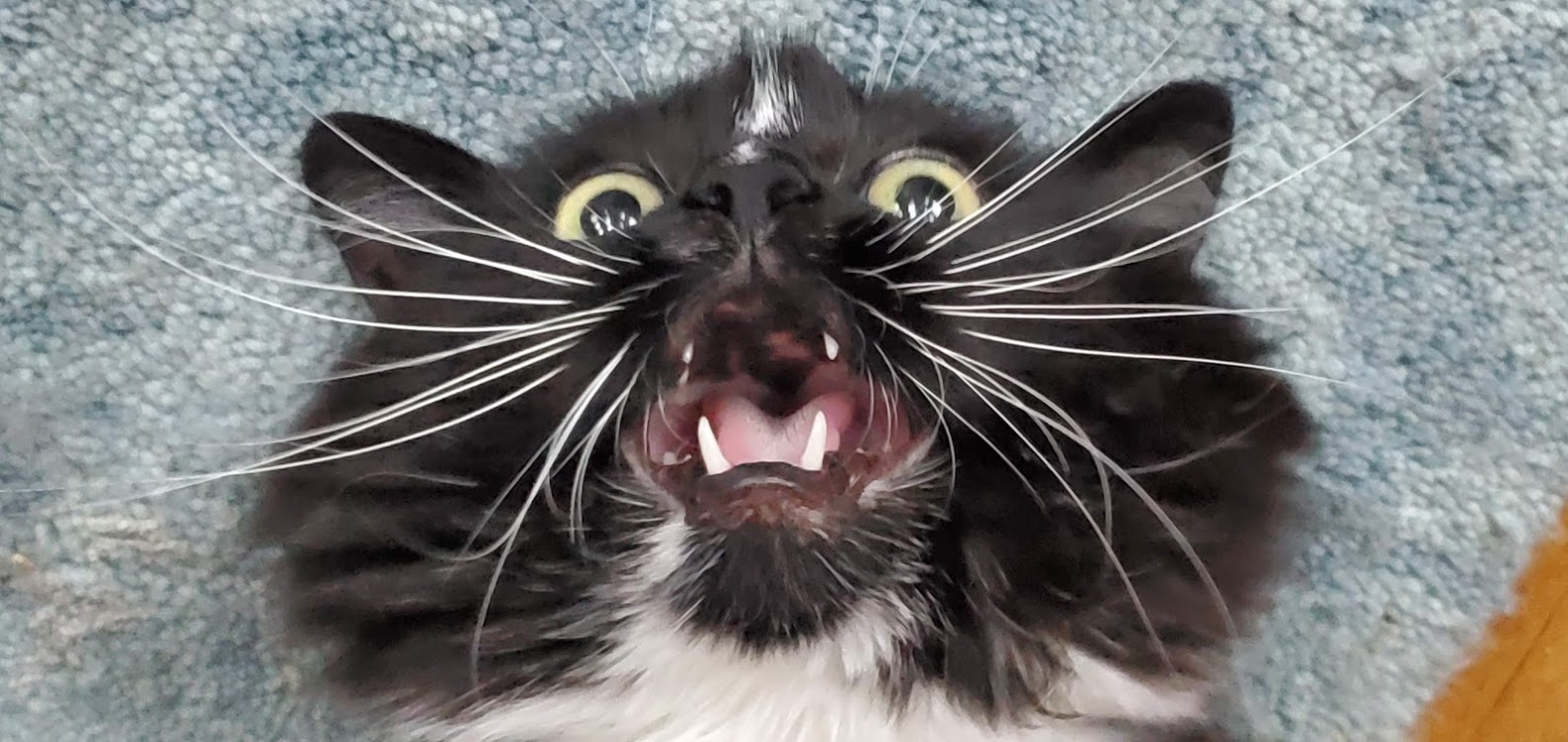 vicous cat