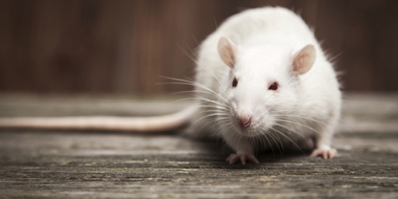 stock photography Pet rat closeup