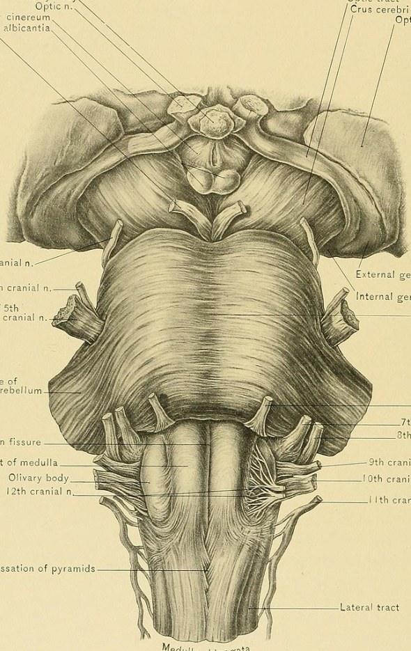 brainstem drawing