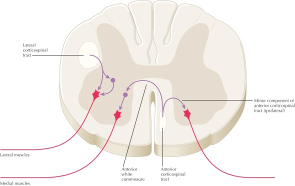 corticospinal tracts (both)