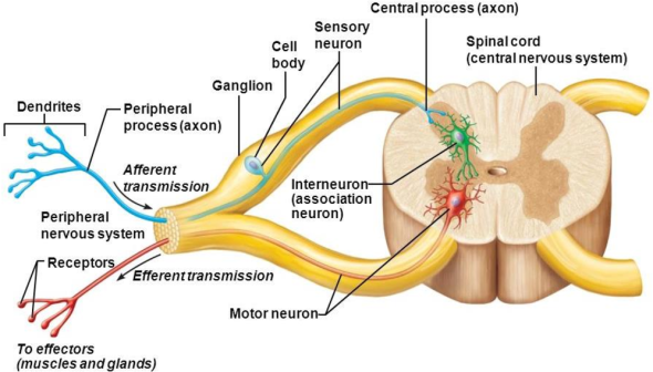 dorsal root ganglion and efferent and afferent pathways