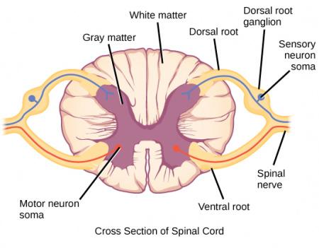 dorsal root ganglion