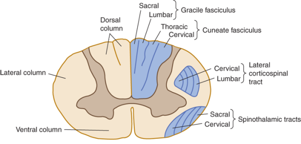 gracile and cuneate fasciculus