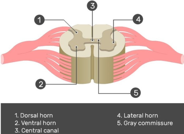 horns of the spinal cord