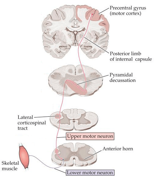lateral corticospinal tract