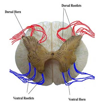 rootlets of the spinal cord
