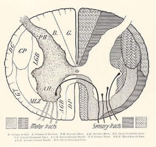 spinal cord cross section drawing