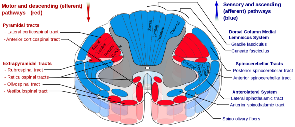 Spinal cord tracts