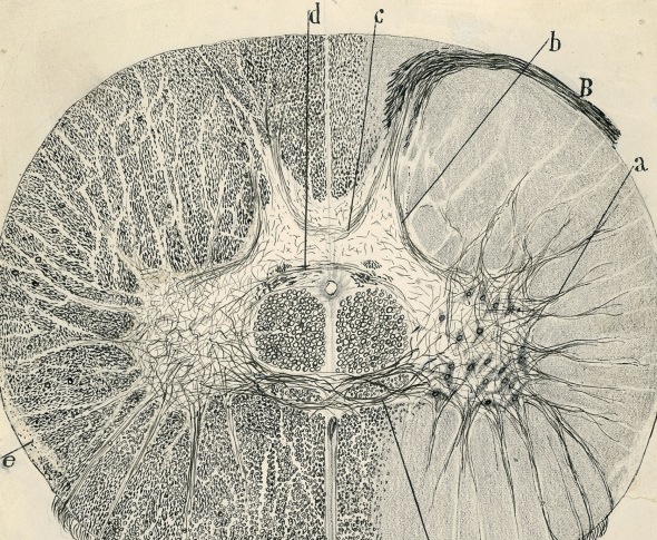 vintage spinal neurons