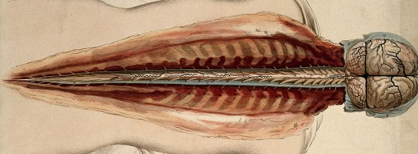 V0008396 Brain and spinal cord: dissection, back view. Coloured line
