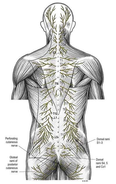 dorsal rami innervation