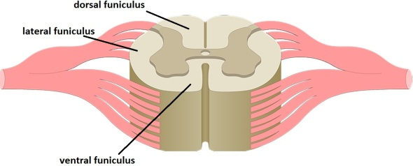 funiculi of the spinal cord