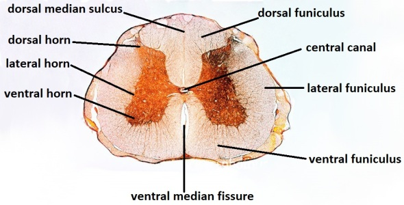 LM of a cross-section through human spina