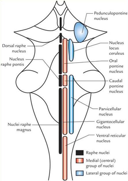 nuclei of the brainstem