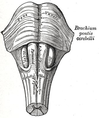 olivary bodies