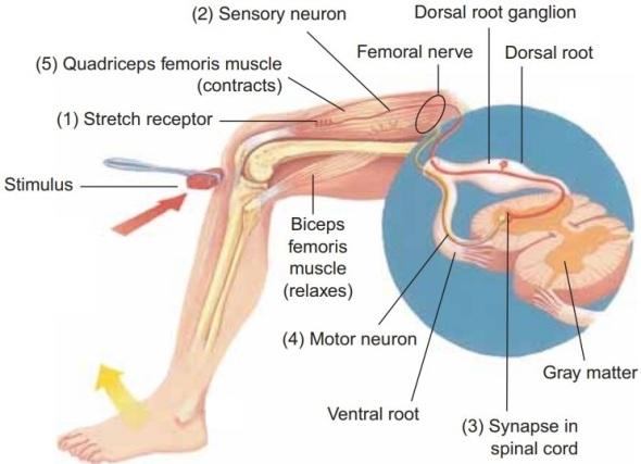 Patellar reflex