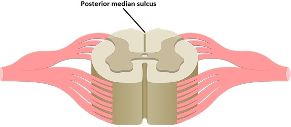 posterior median sulcus