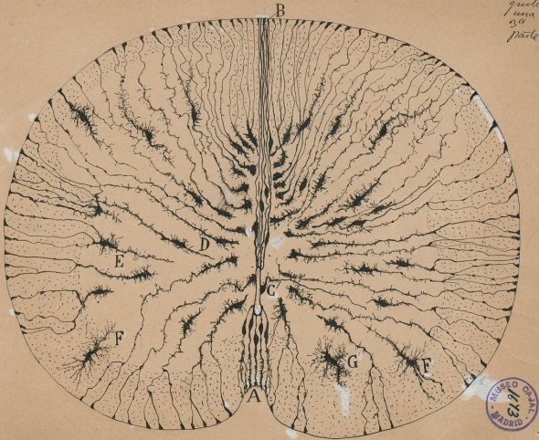 Spinal cord section by Ramon y Cajal