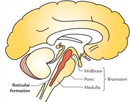 The location of the reticular formation, in the brain stem