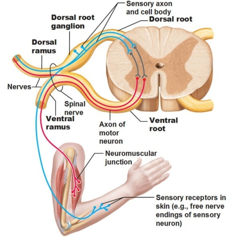spinal nerves with rami