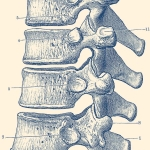 vertebrae of the spine