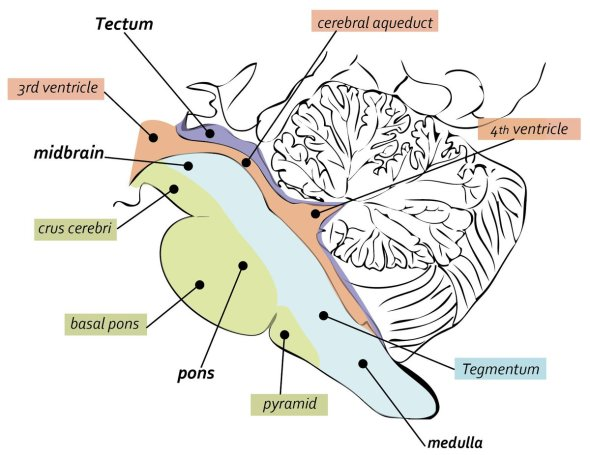 """The tectum is located above the cerebral aqueduct. It is considered the """"roof"""" of the fourth ventricle"""