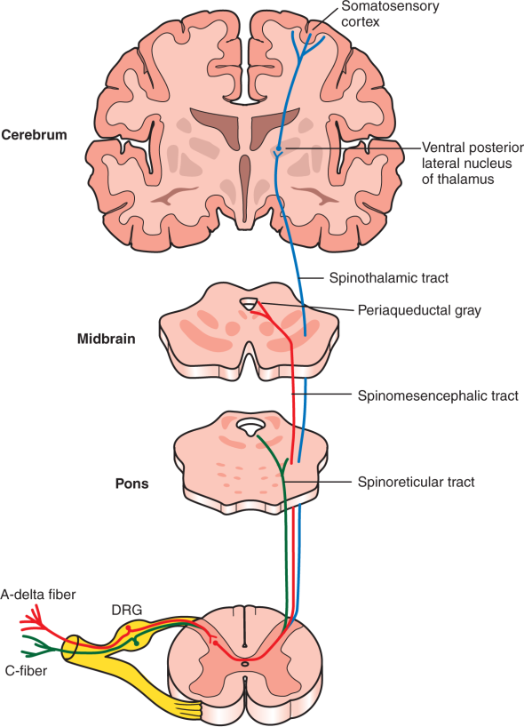anterolateral system