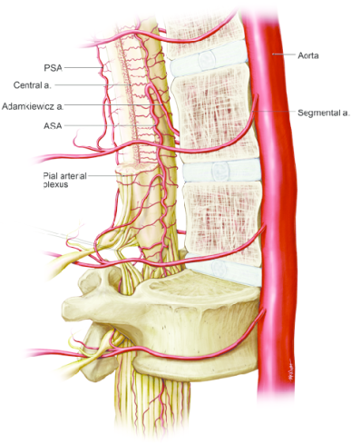 Anterolateral-view-of-lumbar-spinal-cord
