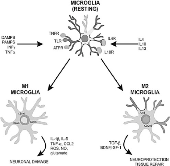 Classical and alternative activation of microglia