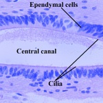 ependymal cells