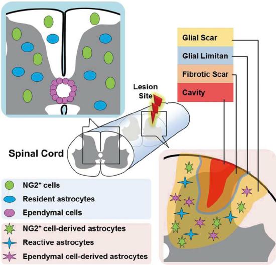 Glial scar formation