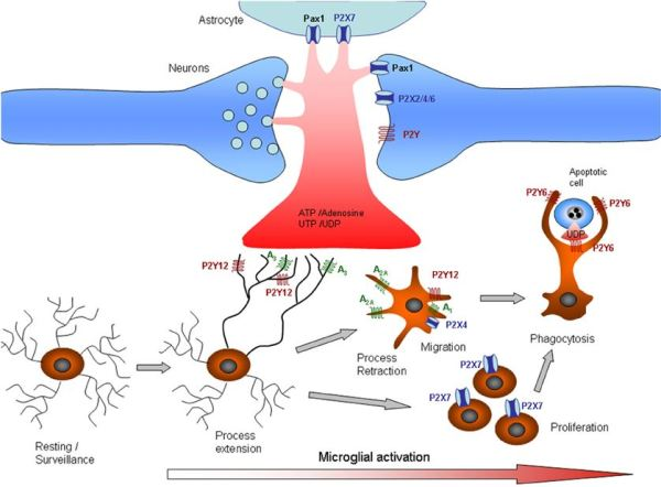 microglial activation steps