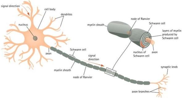 myelination