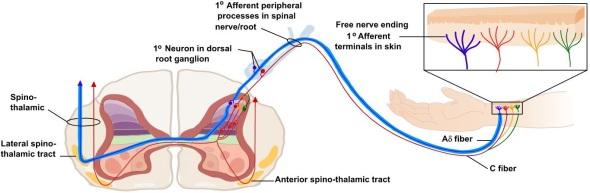 nociceptor pathway