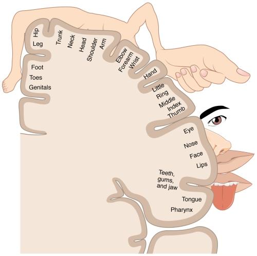 somatosensory homunculus